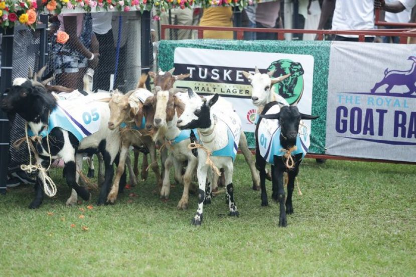 PHOTOS: Goat Races In Perfect Return At Speke Resort