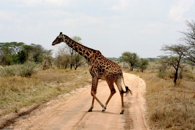 The Rothschild giraffe is said to be a relative to the deer family