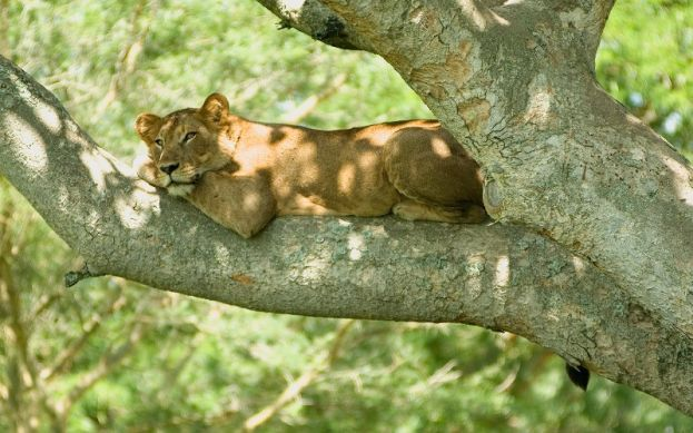 Uganda is home to tree climbing lions