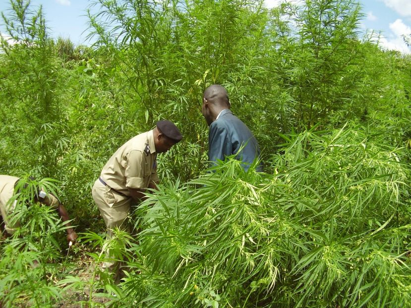 Uganda Police officers destroy a marijuana garden