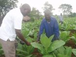 Tobacco farmers in Uganda continue to be at the mercy of tobacco companies who most times never pay them sufficiently