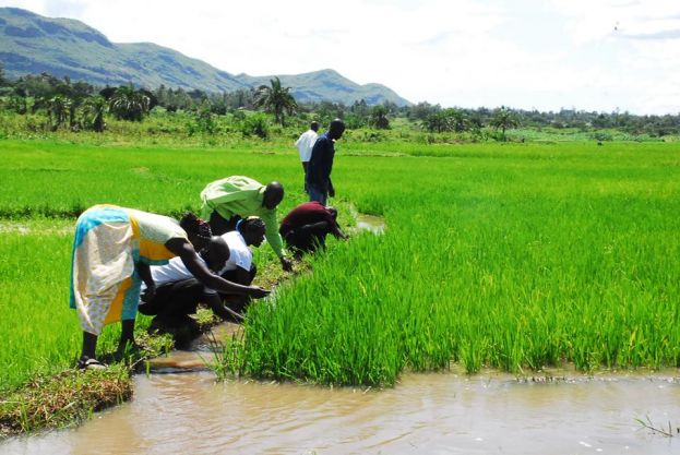 Farmers in Tororo are harvesting the benefits of collective farming