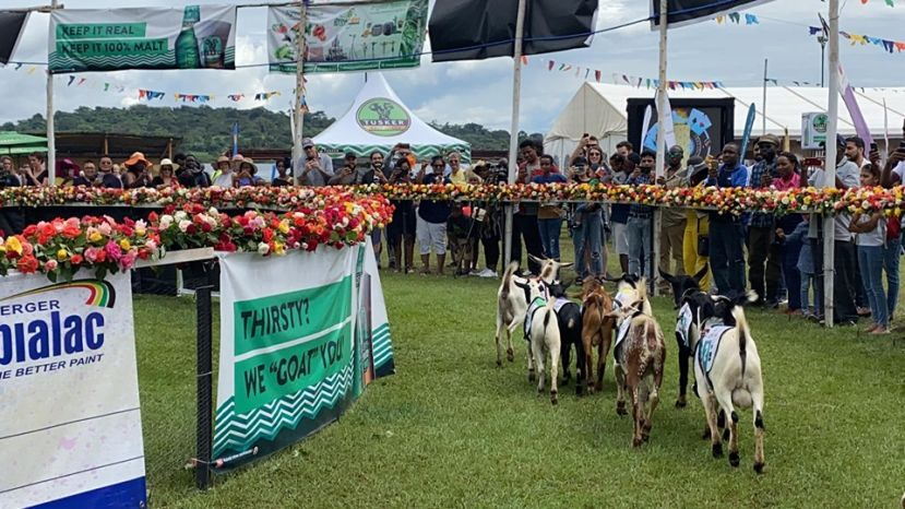 PHOTOS: When The Goats Raced At The Royal Ascot Goat Races In Munyonyo