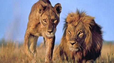 The African Lion and Lioness