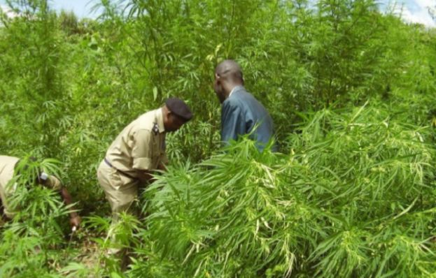 Israeli Firm Harvests Cannabis In Uganda