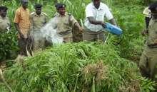 Uganda Completes Deal To Export Shs600b Worth Of Marijuana