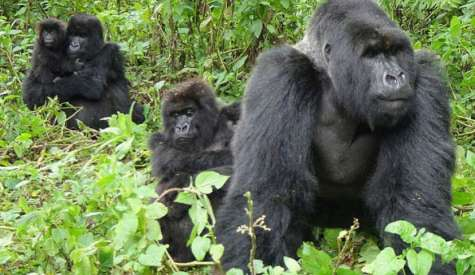 The Ugandan Mountain Gorilla: A Prized Attraction